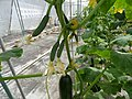 Starr-150326-0881-Cucumis sativus-flowers and young fruit in Hydroponics greenhouse-Town Sand Island-Midway Atoll (25267069655).jpg