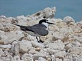 Starr-150402-0633 Spectacled Tern, Spit Island, Midway Atoll (24905890439).jpg