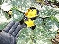 Starr-170616-0464-Cucurbita maxima-flower leaves fruit Kabocha like-Community Garden Sand Island-Midway Atoll (36316528116).jpg