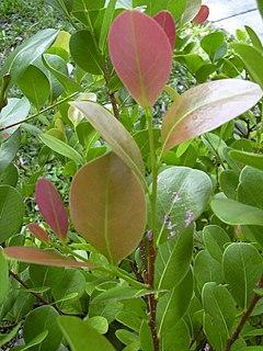 Chrysobalanus icaco wikipedia la enciclopedia libre for Plantas de interior hojas rojas