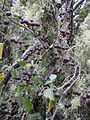 Starr 040723-0318 Solanum americanum.jpg