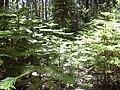 Starr 040812-0079 Araucaria columnaris.jpg