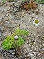 Starr 050519-6812 Tetramolopium rockii.jpg