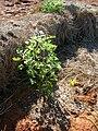Starr 050525-6928 Chenopodium oahuense.jpg
