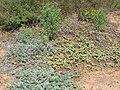 Starr 051104-5162 Solanum nelsonii.jpg