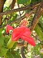 Starr 060922-9179 Hibiscus kokio subsp. kokio.jpg
