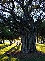 Starr 070727-7644 Ficus benghalensis.jpg