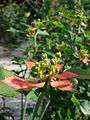 Starr 080605-6379 Euphorbia cyathophora.jpg