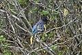 Stellers Jay (Cyanocitta Stelleri) (9357675247).jpg