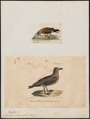Stercorarius catarractes - 1700-1880 - Print - Iconographia Zoologica - Special Collections University of Amsterdam - UBA01 IZ17900190.tif
