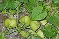 Stictocardia tiliifolia (6).jpg