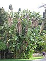 Strelitzia aurea alba (Maria Serena).jpg