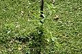 Streptosolen jamesonii 13zz.jpg