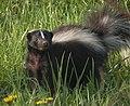 Striped Skunk (Mephitis mephitis) 01 (cropped).jpg