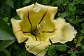Striped Yellow Flower (46181676281).jpg
