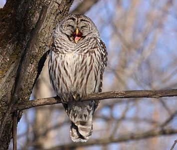 Laughing Owl!!