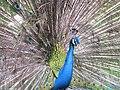 Stupendous peacock display (7856583880).jpg