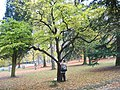 Styrax japonicus JPG1a.jpg