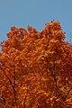 Sugar Maple (Acer saccharum) - Kitchener, Ontario 02.jpg