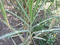 Sugarcane - കരിമ്പ് 03.JPG