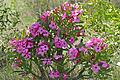 Summer Impala Lily (Adenium swazicum) (16416698916).jpg