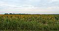 Sunflowers in Marion Arkansas 07 July 2014.jpg