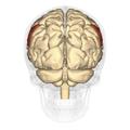 Supramarginal gyrus - posterior view.png