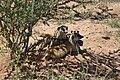 Suricata suricatta 003.jpg