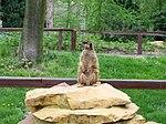 Suricata suricatta Toruń