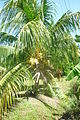 Suriname 313 Klapperboom.JPG