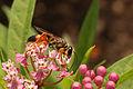 Swamp Milkweed Asclepias incarnata Insect Feeding 3008px.jpg