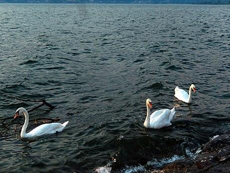 Swans in Lake Como (1).jpg
