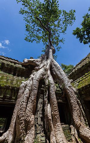 Tetrameles nudiflora emerging over the ruins of the Khmer temple of Ta Phrom, Angkor temple complex, located today in Cambodia. The temple Ta Phrom, of Bayon-style, was erected in the 12th century as a Buddhist monastery and university.