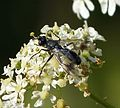 Tachinidae. Lophosia fasciata - Flickr - gailhampshire.jpg