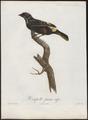Tachyphonus cristatus - 1805 - Print - Iconographia Zoologica - Special Collections University of Amsterdam - UBA01 IZ15900271.tif