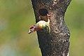 Takur ungkut-ungkut (Psilopogon haemachepalus roseus).jpg