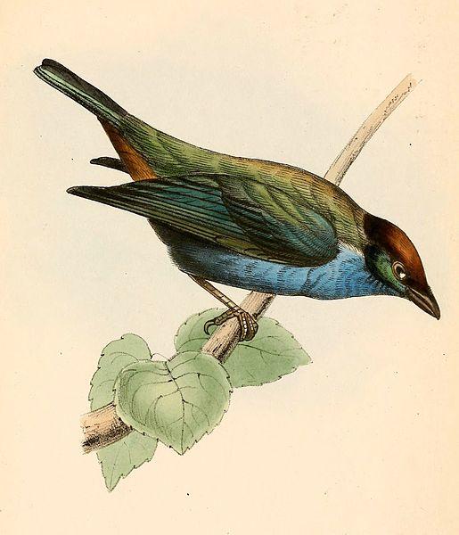 File:Tangara cucullata 1841.jpg