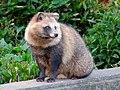 Tanuki in Higashiyama Zoo - 2.jpg