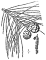 Taxodium ascendens drawing.png