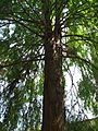 Taxodium distichum 02 by Line1.jpg