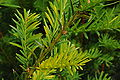 Taxus-mosaic1.JPG