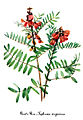 Tephrosia virginiana, by Mary Vaux Walcott.jpg