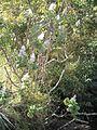 Tetradenia riparia, habitus, Louwsburg.jpg