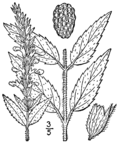 Teucrium canadense var occidentale BB-1913.png