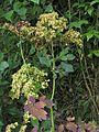 Thalictrum aquilegiifolium20130727 078.jpg