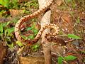 The Ceylonese Cat Snake (Boiga ceylonensis).JPG