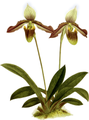 The Orchid Album-03-0042-0109-Cypripedium melanopthalmum-crop.png