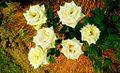 The White Rose in Nepal.jpg