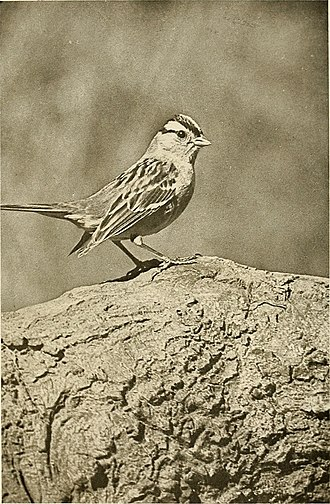 Donald Ryder Dickey - Gambel Sparrow on Log From a photograph, Copyright 1914, by D. R. Dickey Taken in Pasadena. From The Birds of California (1923).