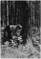 The man examining the tree is verifying indications of bark bettle attack - NARA - 286074.tif